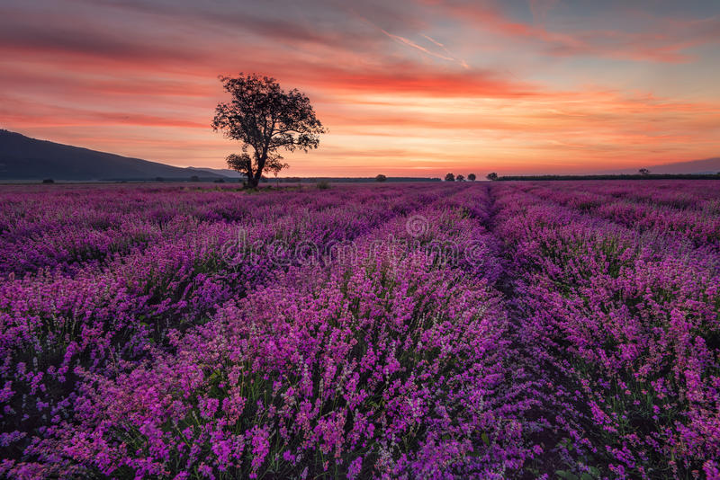 Lavender field at sunrise with lonely tree. Summer sunrise landscape, contrasting colors. royalty free stock image