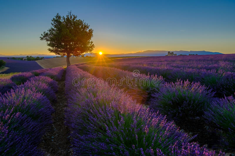 Lavender field at sunrise in Provence stock photography