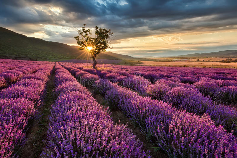 Lavender field at sunrise royalty free stock image
