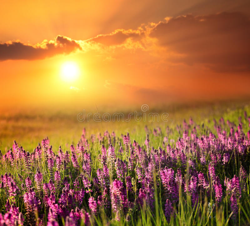 Lavender field at sunrise royalty free stock photography