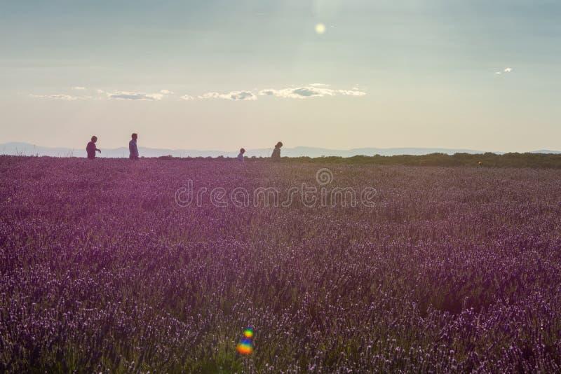 Lavender field at sunset backlit with walkers. In Brihuega, Spain, Europe royalty free stock image