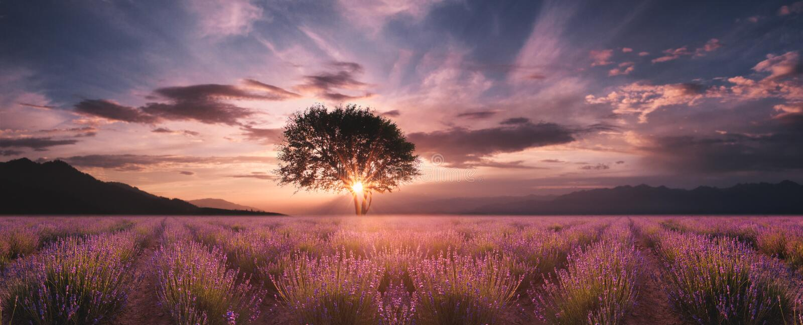 Lavender field at sunset. Lavender field and lonely tree at sunset royalty free stock image