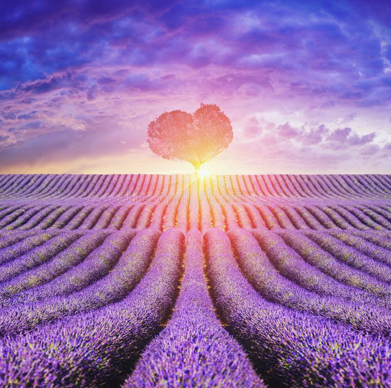 Lavender field at sunset. A field of lavender plants with sun setting behind royalty free stock images