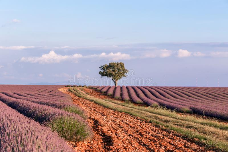 Lavender Field with a Tree in the end against the Sky during Summer Sunset stock photo