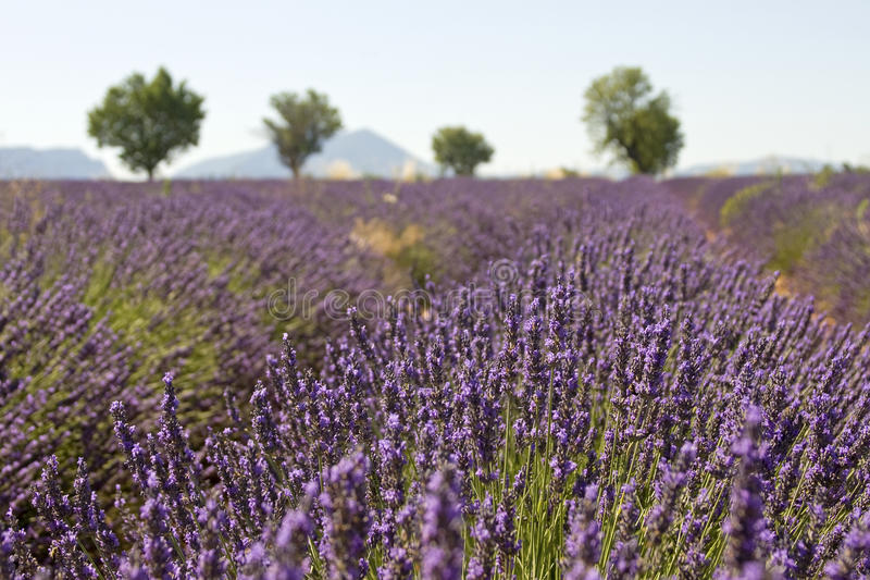 Download Lavender Field With Tree. Provence. France. Stock Image - Image: 23478515