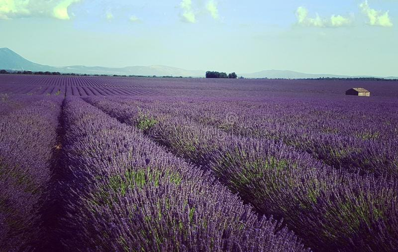 Lavender field in Valensole. Flower, purple, provence, provencal, france, fragrant, aroma royalty free stock photo