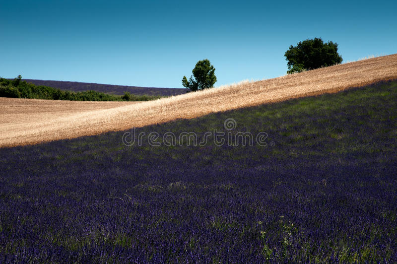 Lavender Fields royalty free stock photos