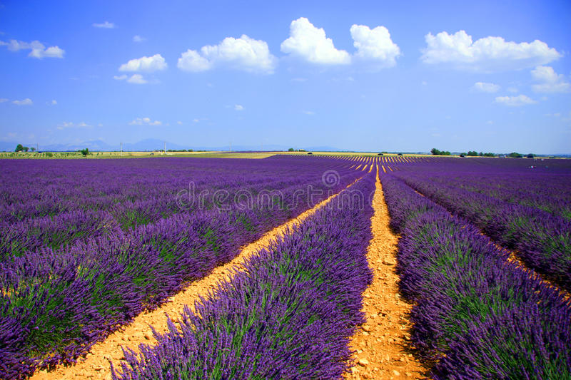 Lavender fields royalty free stock image