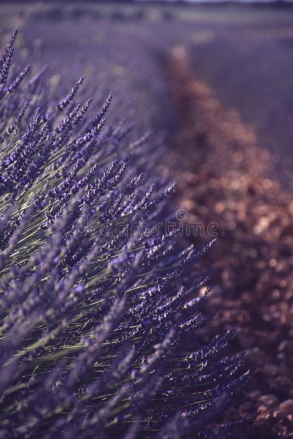 Lavender fields bloomed with light rays. Great lavender fields bloomed with light rays and stones on the floor royalty free stock photography