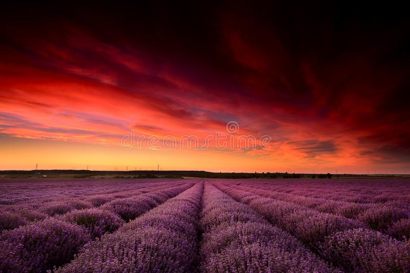 Lavender fields in Bulgaria in summer time. With red sky ans sunset royalty free stock photos