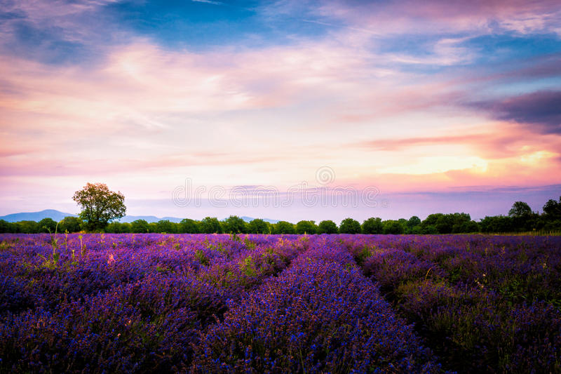 Lavender fields in Bulgaria stock photo