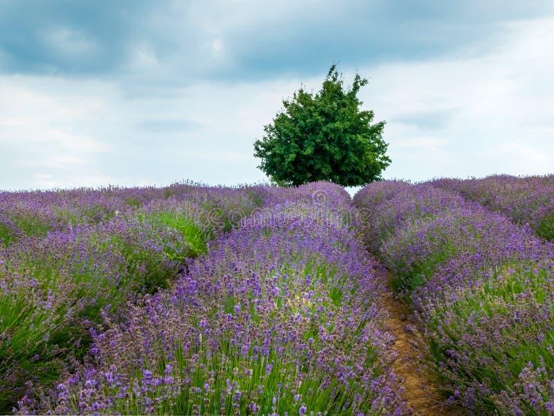Lavender Fields lizenzfreie stockbilder