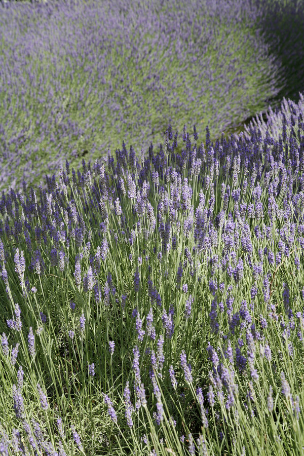 Download Lavender fields in France stock image. Image of pasture - 4136899