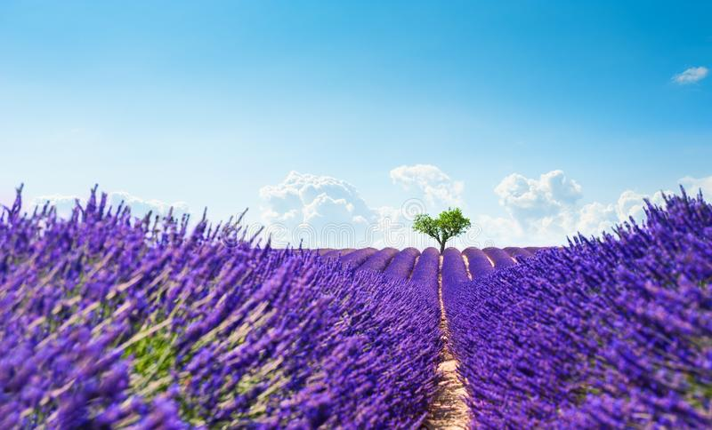 Lavender fields with heart-shape tree in Provence, France. Lavender fields with heart-shape tree near Valensole, Provence, France. Beautiful summer landscape royalty free stock photo