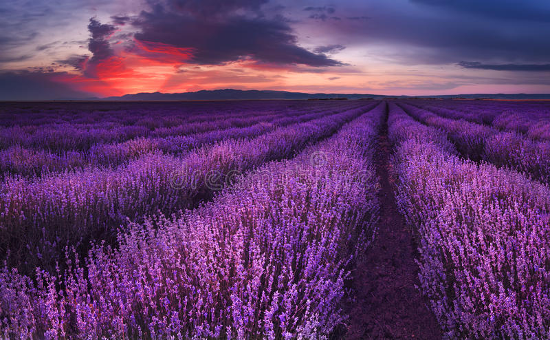 Lavender fields. Magnificent image of lavender field. Summer sunset landscape, contrasting colors. Dark clouds, dramatic sunset stock photo