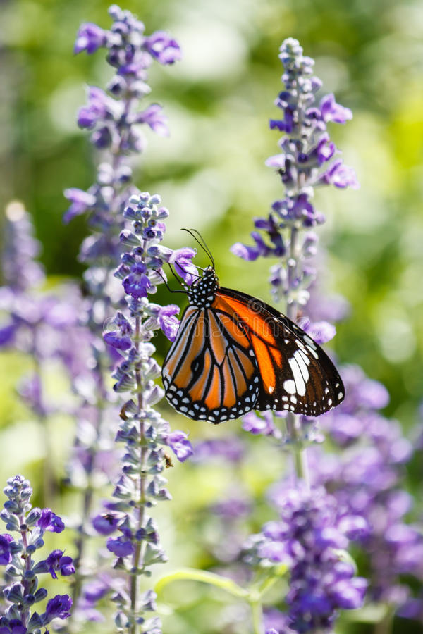 Lavender Fields with Monarch Butterfly at Rama IX Park Bangkok, Thailand stock images