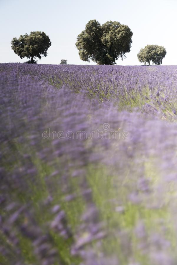 Lavender fields moving with the breeze of the wind stock photos