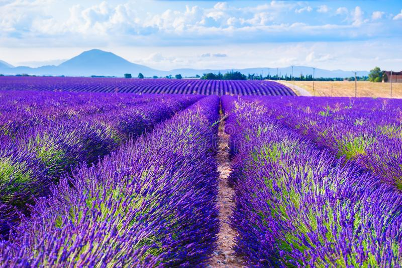 Lavender fields near Valensole, Provence, France. Beautiful summer landscape stock photos