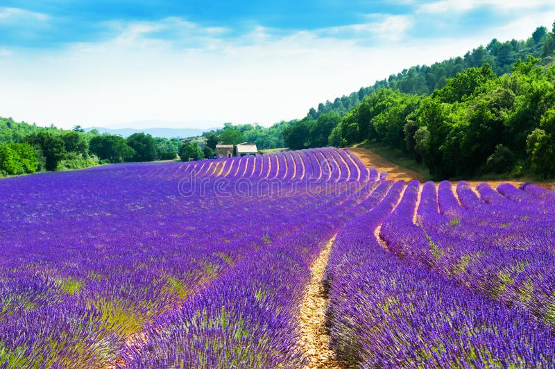Lavender fields near Valensole, Provence, France. Beautiful summer landscape stock images