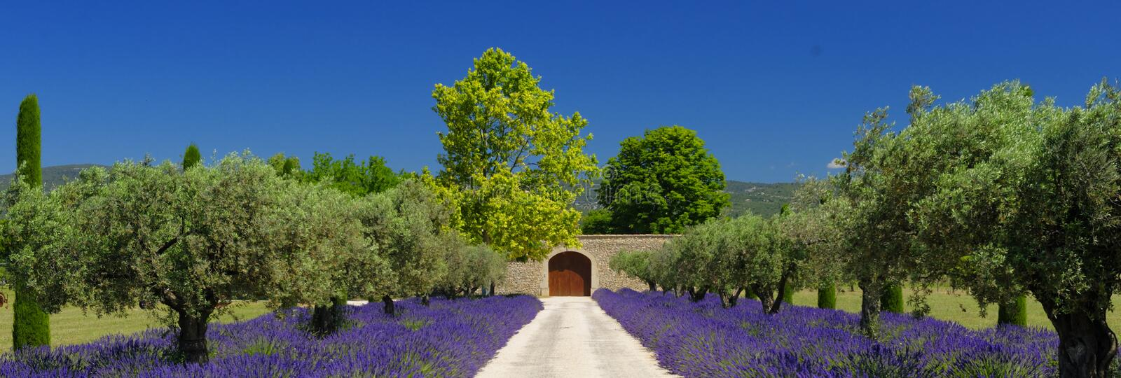 Lavender fields in Provence royalty free stock images