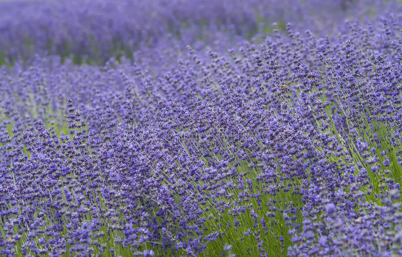 Lavender Fields, San Diego County, California royalty free stock images