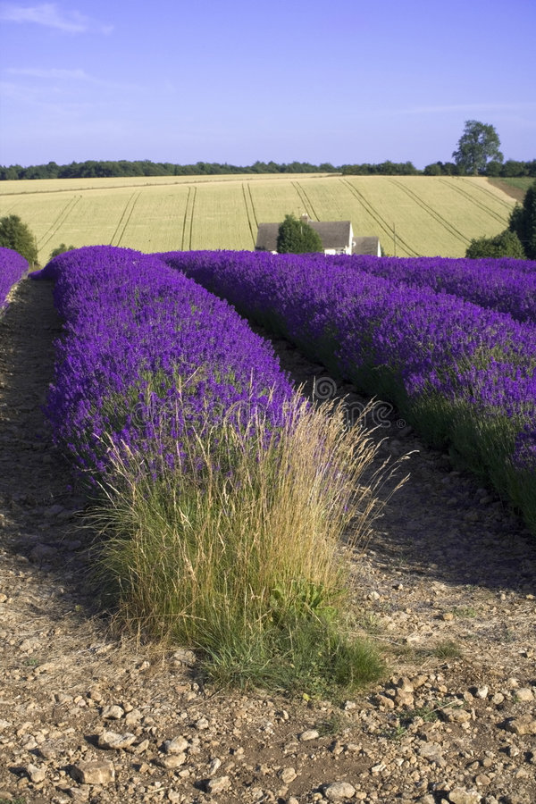 Lavender fields snowshill lavender farm the cotswolds gloucester. Shire midlands england stock photography