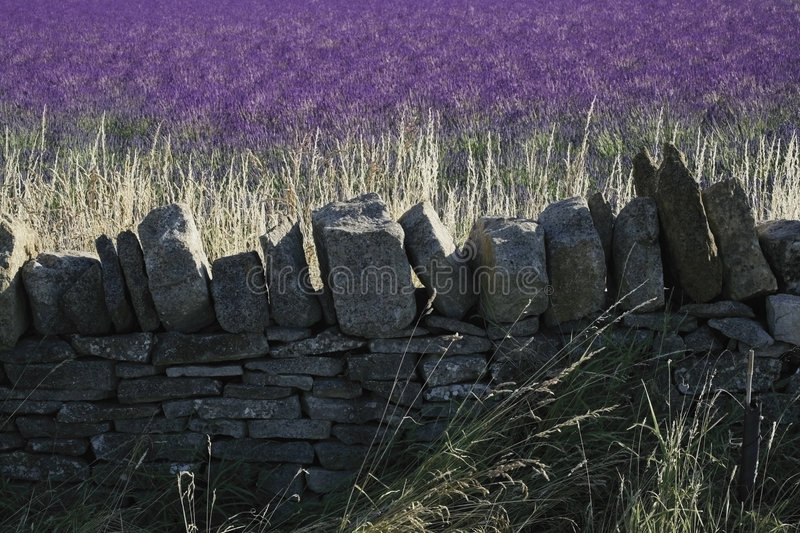 Lavender fields snowshill lavender farm the cotswolds gloucester. Shire midlands england stock photo