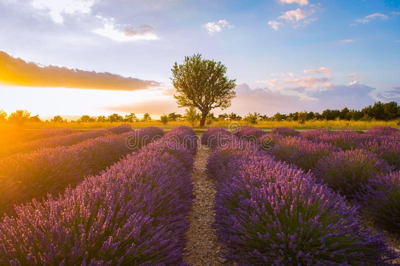 Lavender fields surround a lone tree in southern France royalty free stock photo