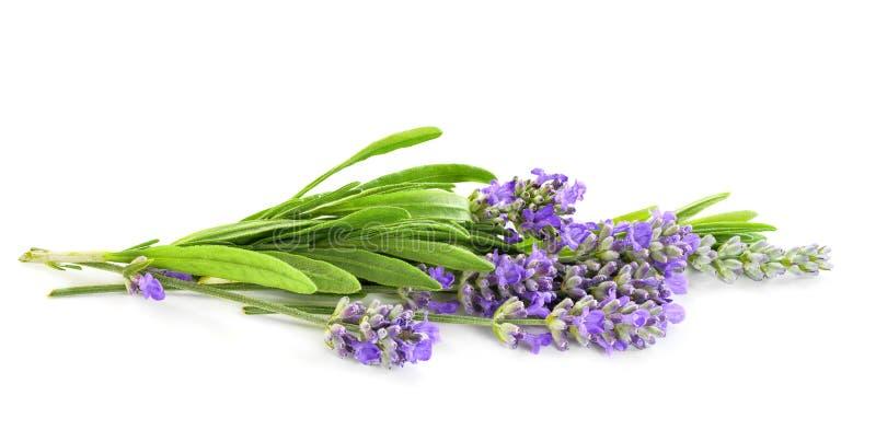 Lavender flores, cacho isolado em branco imagens de stock royalty free