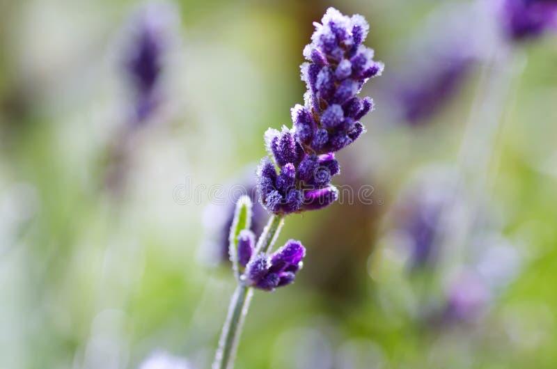 Lavender flower stock image