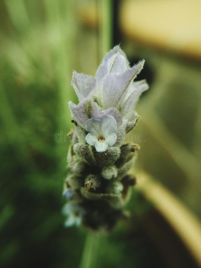 Lavender flower in bloom royalty free stock photography