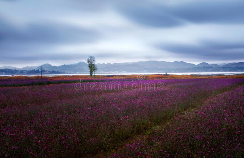Lavender flower blooming fields endless rows. Grass sea. stock image