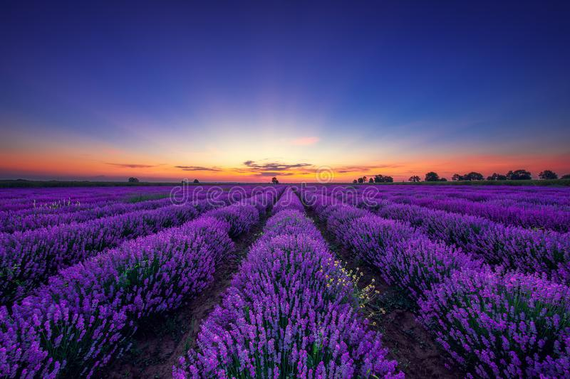 Lavender flower blooming fields in endless rows.  royalty free stock photography