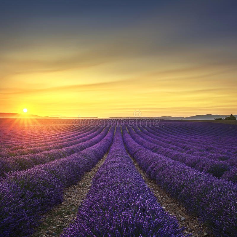 Lavender flower blooming fields endless rows on sunset. Valensole Provence France royalty free stock image