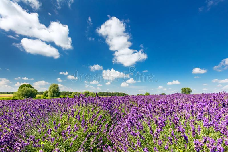 Lavender flower field in full bloom, sunny blue sky royalty free stock photo