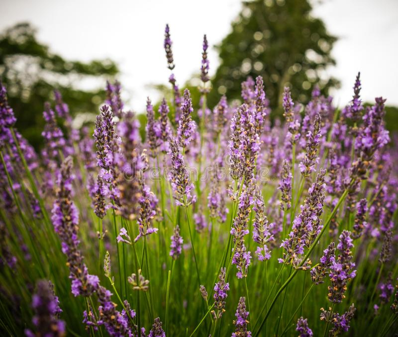 Lavender flower field in summer day royalty free stock photography