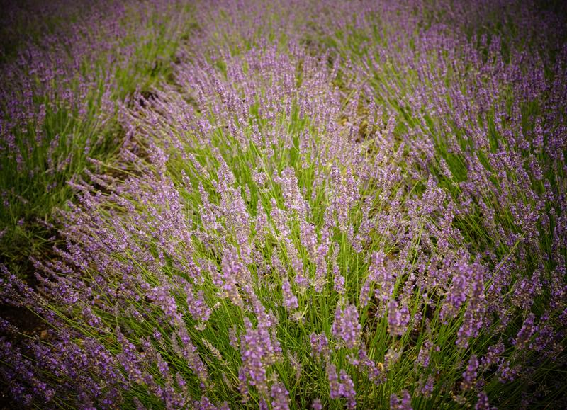Lavender flower field in summer day stock image
