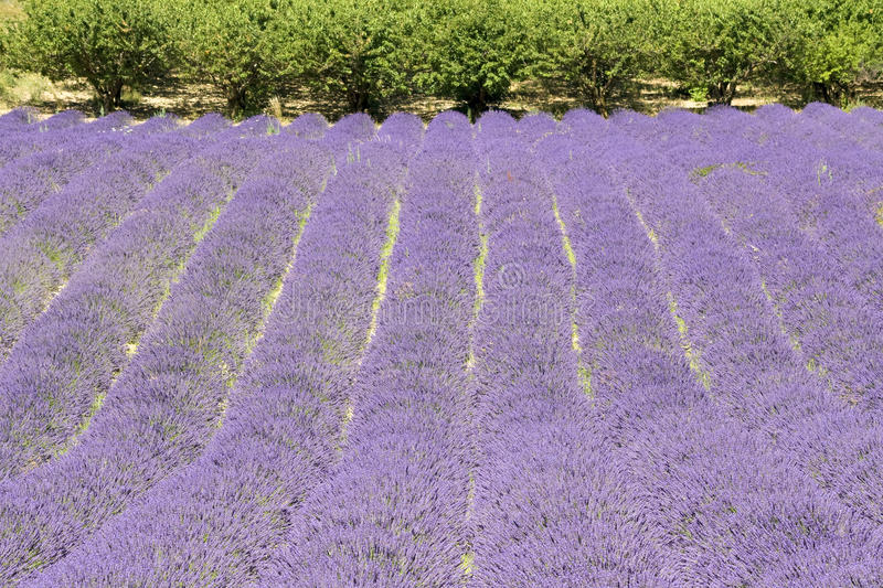 Download Lavender Flower Field, With Tree, Provence. France Stock Photo - Image: 26379502