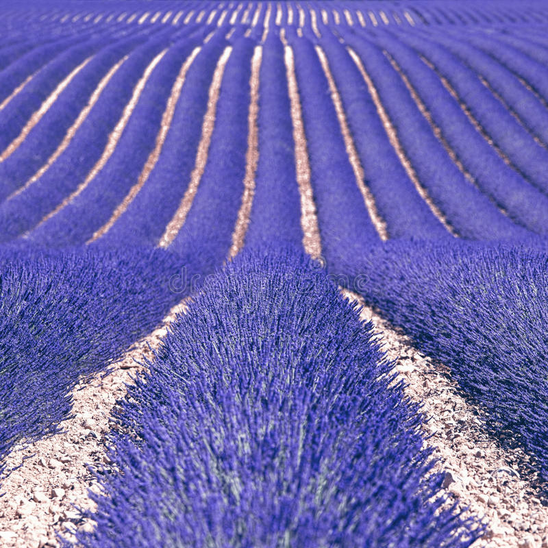 Download Lavender Flower Fields As Background. Provence Stock Image - Image: 27709431