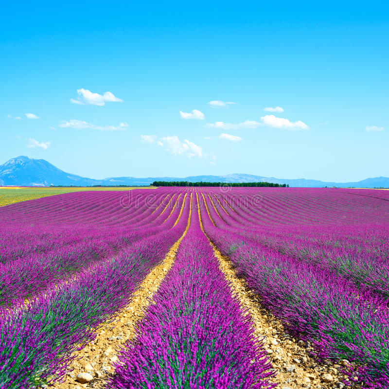 Lavender flower fields. Provence France royalty free stock photo