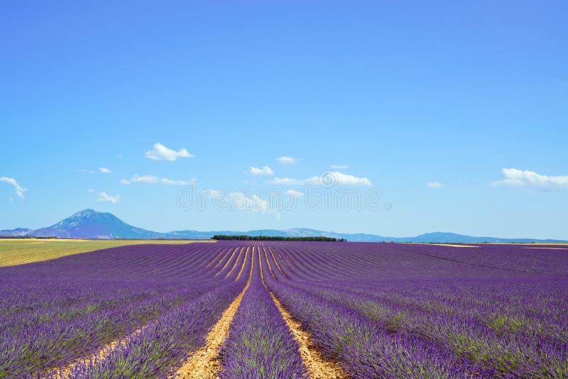 Lavender flower fields. Valensole Provence