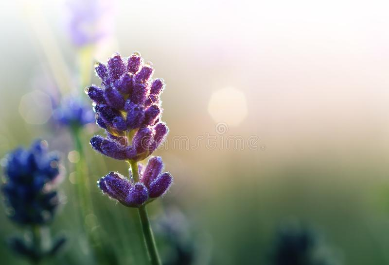 Lavender flowers in early morning background stock photography