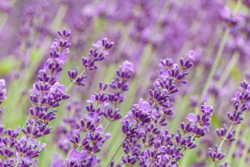 Lavender flower violet Lavandula flowers in nature with copy space.  stock photos