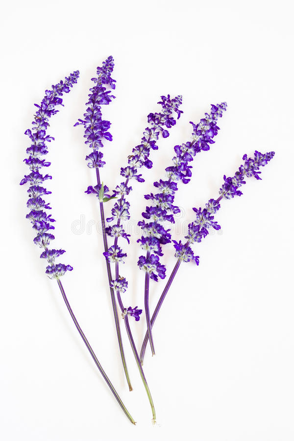 Lavender flower on white background royalty free stock photography