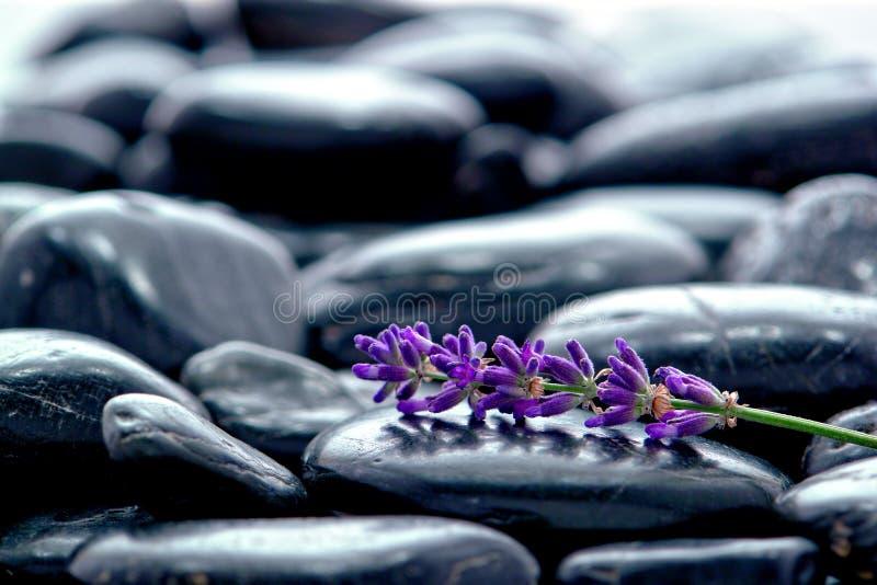 Lavender Flower Wisp on Soft Black Polished Stones. Purple fresh lavender flower wisp on bed of soft black polished stones royalty free stock images