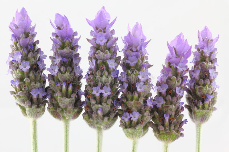 Download Lavender Flowers By White Background Stock Image - Image of blossom, cone: 21486897