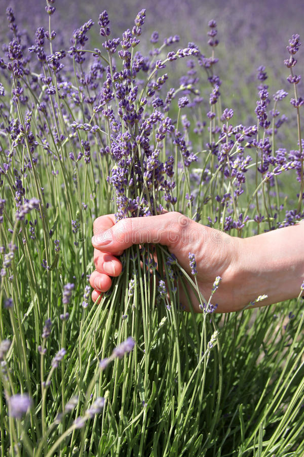 Download Lavender flowers stock image. Image of brushing, agriculture - 24937515