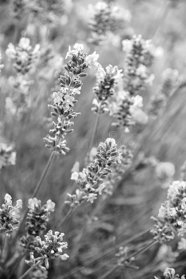 Lavender flowers as background. In black and white toned. Lavender flowers can use as background. In black and white toned royalty free stock photos