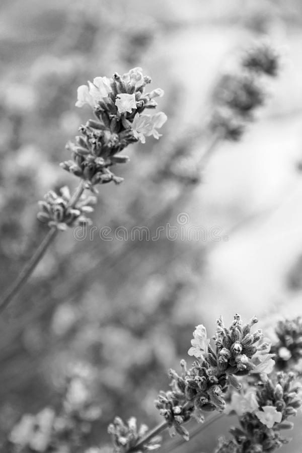 Lavender flowers as background. In black and white toned. Lavender flowers can use as background. In black and white toned royalty free stock image