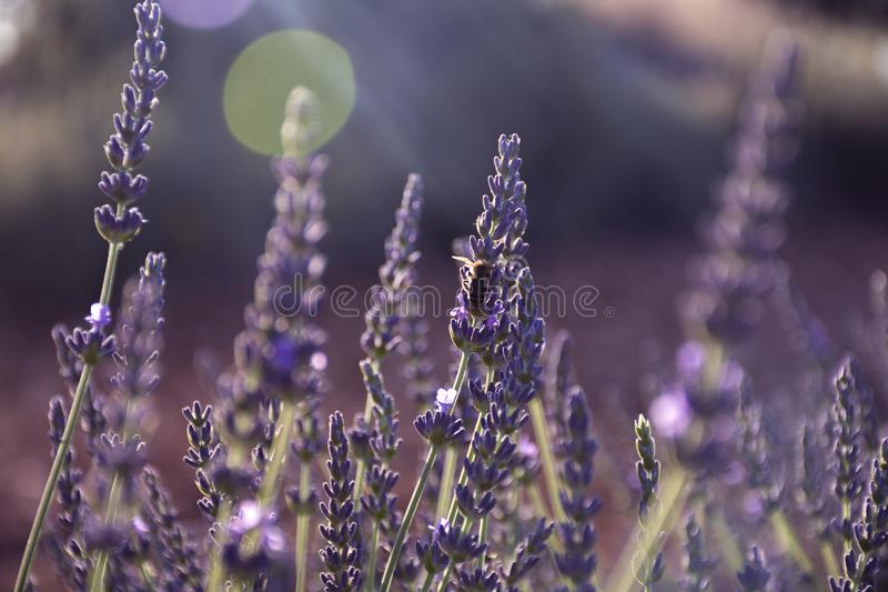 Lavender flowers with a bee on the petals. Great lavender fields bloomed with light rays and a bee on the flowers royalty free stock photos